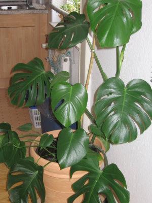 Welche dieser pflanzen ist giftig - Giftige zimmerpflanzen ...
